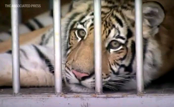 Owner surrenders tiger spotted in Houston neighborhood By