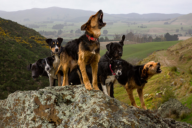 New Zealand dogs
