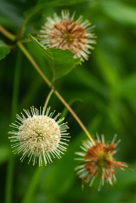 Buttonbush, Indiana Dunes National Park