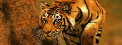Foto tigre agazapado