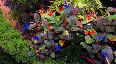 Bucephalandra dalam akuarium