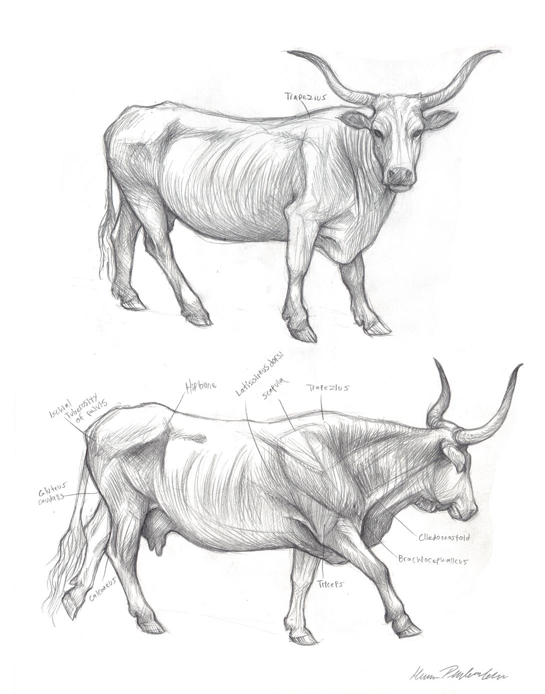 Cow Hoof Anatomy