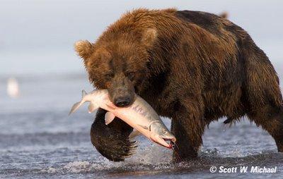 Free photo: Brown Bear, Food, Wildlife Park - Free Image ...  |Brown Bear Food