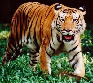 malayan tiger drawing - photo #22