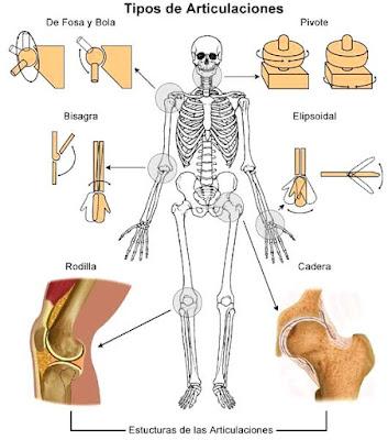Imagen con los tipos de Articulaciones del cuerpo humano