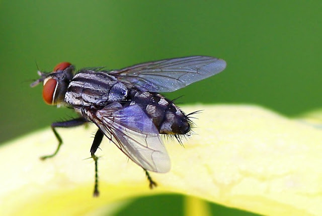 Inilah Alasan Mengapa Allah Menciptakan Lalat