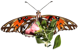 a Gulf Fritillary butterfly with spread wings