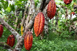 Plant showing cocoa fruit