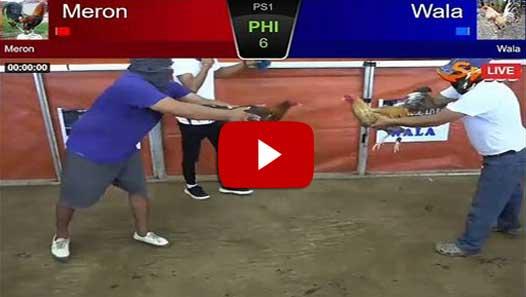 Vidio Pertandingan Ayam Bangkok Jali Turun di Arena SV388
