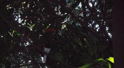 Oriental magpie-robin bird picture