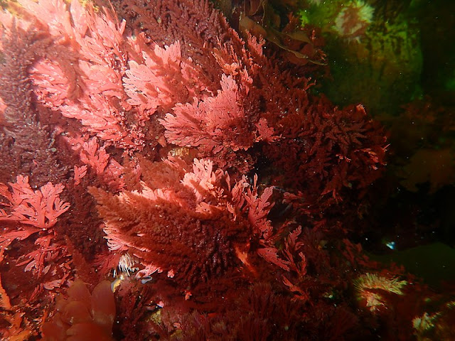 CC BY-SA 4.0 Peter Southwood  Red seaweeds