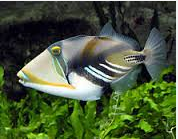 Ikan Hias Air Laut Untuk Triggerfish