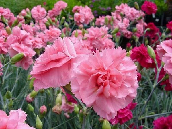 4 Manfaat Bunga Anyelir Untuk Pengobatan dan Kecantikan