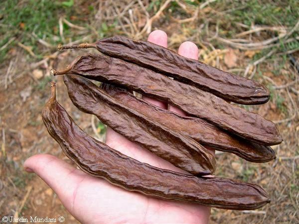 Las algarrobas son los frutos del algarrobo, Ceratonia siliqua , la ...
