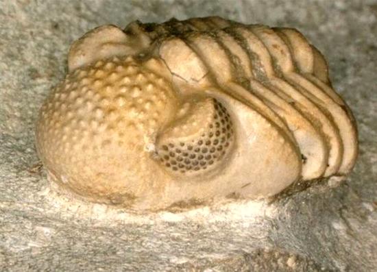 Trilobita Fossil