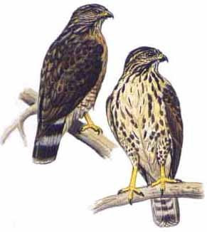 busardo aliancho Buteo platypterus