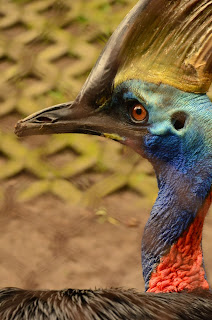 Cassowary_Birds_facts_in_hindi