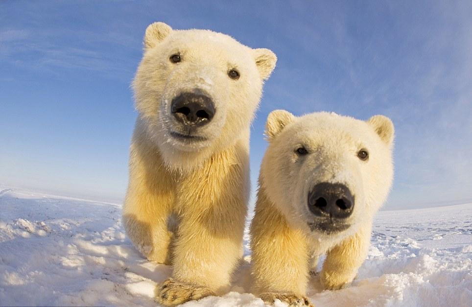 الدببة القطبية 0_94f0c_c5772ff3_ori