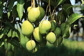 15 Uses Of Mango Tree In Hindi Language-आम का पेड़