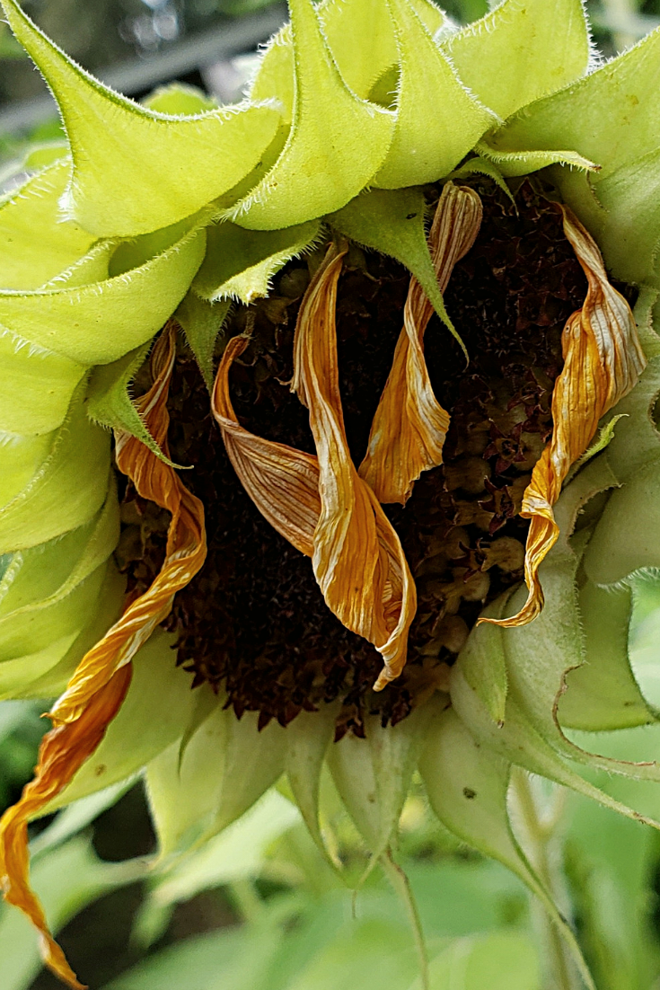 Sunflower fading from www.ruralmag.com