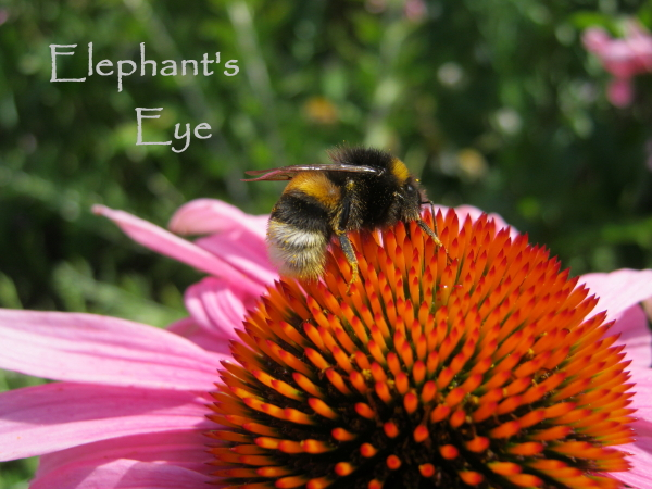 Bee on Echinacea July 2016