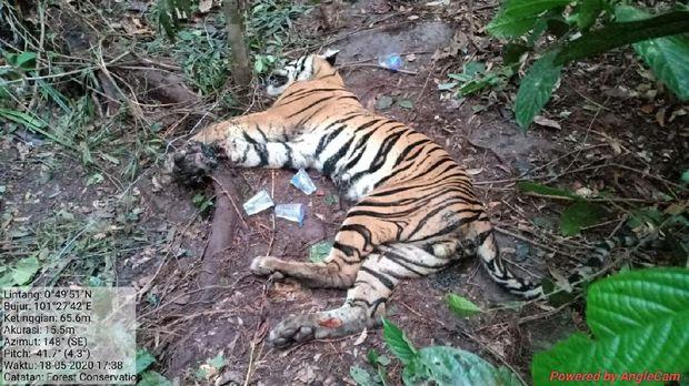 Harimau Mati, Pukulan Besar Konservasi