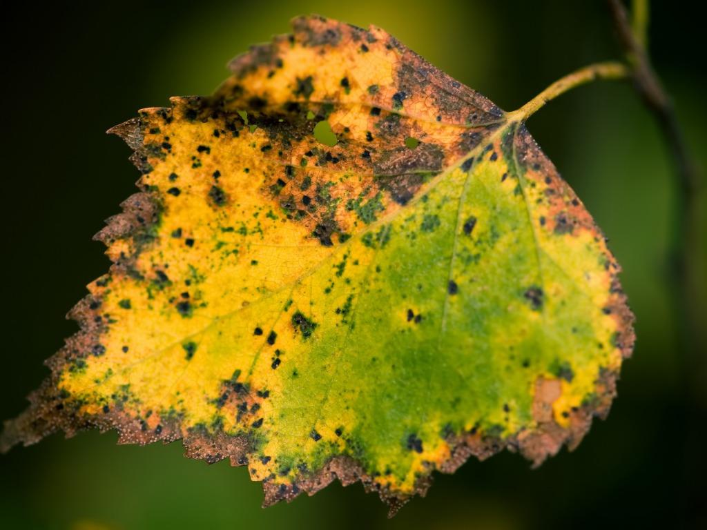 Pozadine Za Desktop Biljke žuti Otpali List Jesen