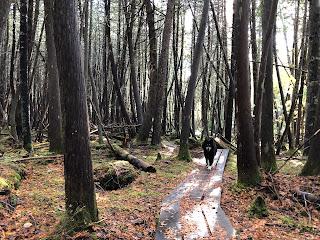 dog walking on boardwalk trail in forest