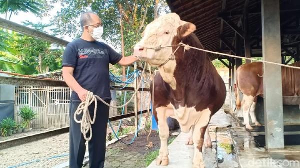 Melihat Gagahnya Sapi Kurban Jokowi dari Lembang Bandung Barat