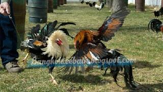 Beberapa tehnik bertarung ayam aduan paling diminati