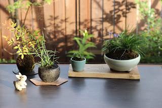 お手入れ後の山野草盆栽二つと苔玉一つと新しい小さな鉢