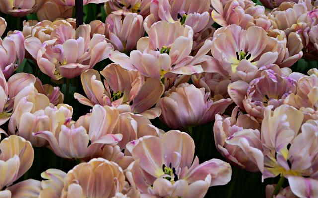 la belle epoque pełny tulipan zielona metamorfoza keukenhoff
