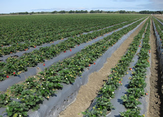 Row upon row of strawberry plants near Watstonville, California