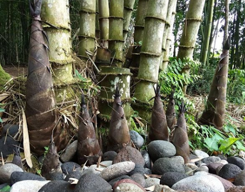rebung-bambu-muda