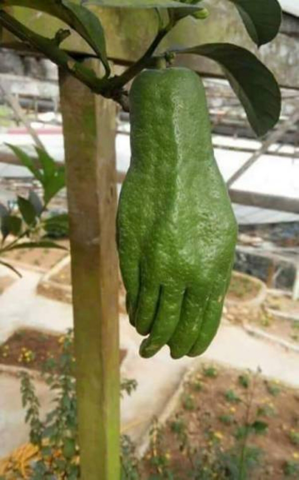 frutas com formato humano