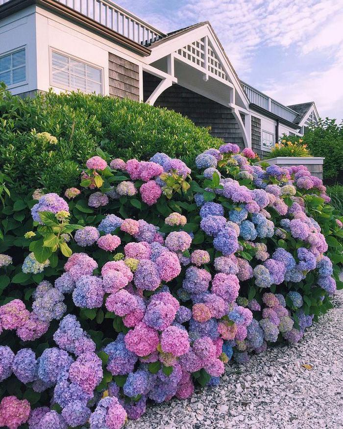 Delightful Hydrangea bush