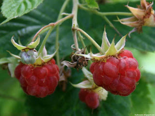 American red raspberry fruit images wallpaper