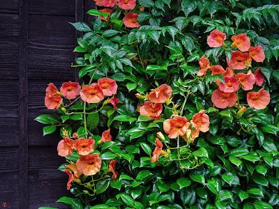 Nouzenkazura (Campsis grandiflora) flowers: Kaizo-ji