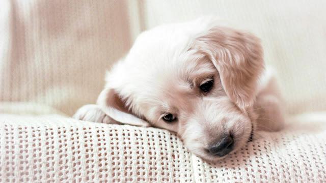 puppy cute dog wallpaper