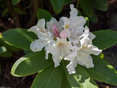 Weiße frische Rhododendronblüte