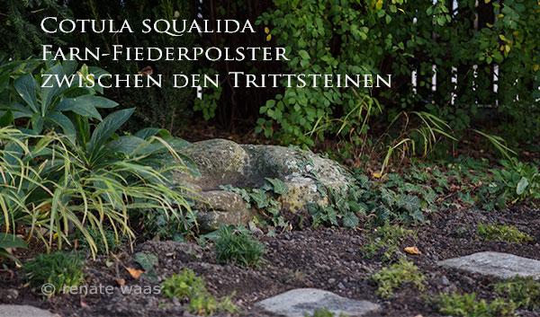 Bodendecker als Rasenersatz - Cotula squalida.
