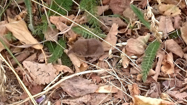 Long nose shrew, on some dead leaves.
