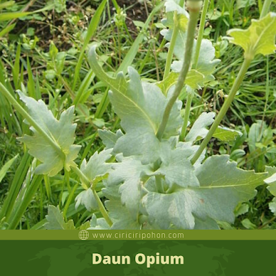 Ciri Ciri Daun Opium