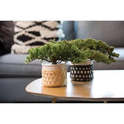https://www.lowes.com/pd/LiveTrends-12-oz-Juniper-Fir-Kaare-in-Ceramic-Planter/1001309518