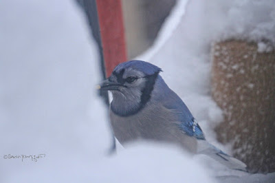 "This picture features a lone blue jay visiting an urban garden (in NYC) . As I said in my alt text for the image directly above, ""At first glance, it seems the bird seems to be looking forlornly at snow (at least twelve inches) that has accumulated."" However this image may reveal that the bird wasn't forlorn at all and he may have been just assessing if the accumulated snow might be a good source of water for in this image the creature is pecking at the snow with his beak. Bluejays are featured in my three volume book series, ""Words In Our Beak."" Info re these books can be found within another post on this blog @ https:// www.thelastleafgardener.com/2018/10/one-sheet-book-series-info.html"