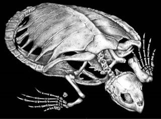 anatomia-tortugas