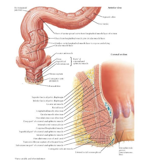 Anorectal Musculature Anatomy