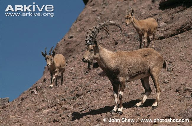 Cabra de Nubia