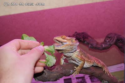 Pogona vitticeps comiendo canónigos