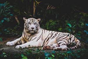 Albino tiger lying on ground